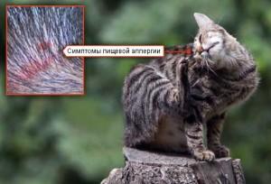 Симптомы аллергии у кошек и котов