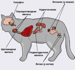 Гормоны эндокринной системы и их функции у кошек и котов