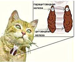 Заболевания эндокринной системы, заболевания паращитовидных железу кошек и котов