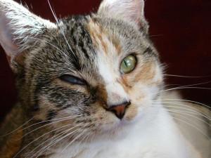 Можно ли предупредить отёк Квинке и крапивницу у кошек и котов?