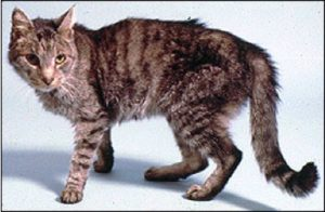 Симптомы гипертиреоза у кошек