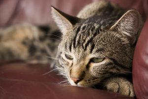 Симптомы гипокальциемии у кошек и котов