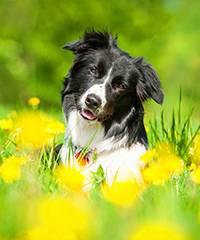 Заражение личинками овода у собак