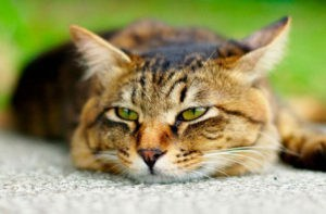 Кошка не ест из-за заболеваний печени