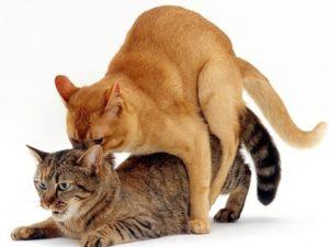 Спаривание кошки и кота