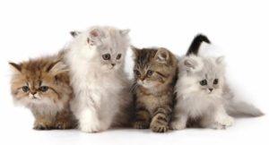 Могут ли в помете у кошки быть котята от разных котов?