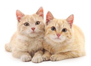 Вязка и беременность у кошек