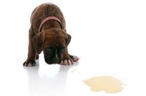 Симптомы недержания мочи у собак