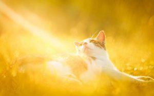 Опасность солнечного ожога, гипертермии и теплового удара у кошек, причины их возникновения и профилактика